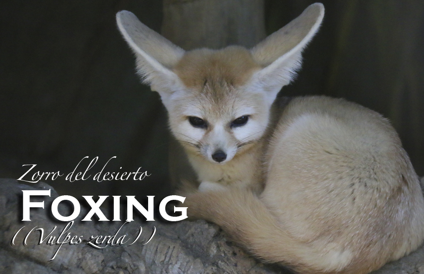 Apadrina Foxing